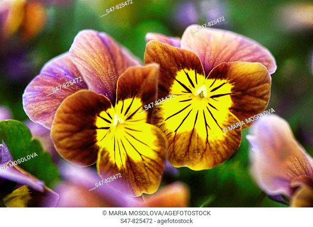 Brown Pansy Flowers with Yellow Centers. Viola x wittrockiana