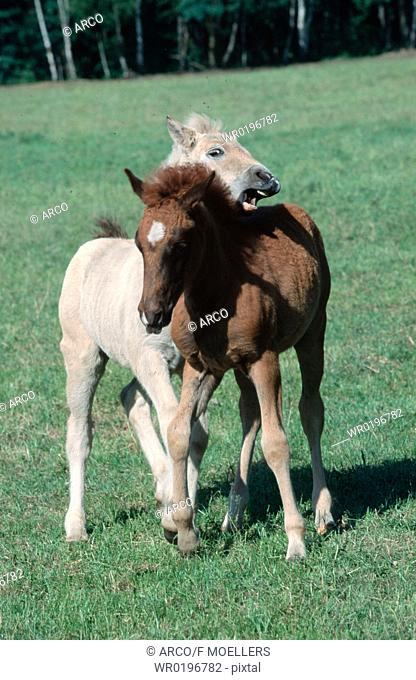 Horses, playing, foals
