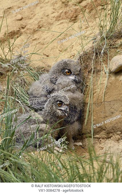Eurasian Eagle Owls ( Bubo bubo ), two chicks, resting behind some grass over day in a sand pit, wildlife, Europe