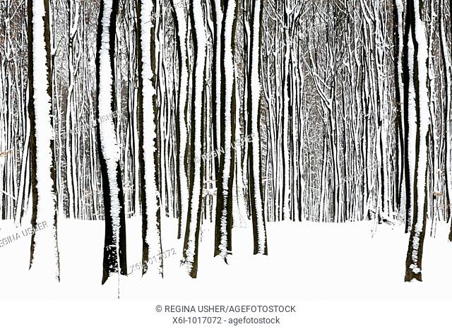 Beech tree stems, Fagus sylvatica, in woodland, covered in snow, Germany