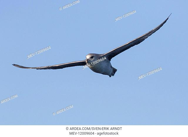 Northern Fulmar - adult bird in flight - Svalbard, Norway