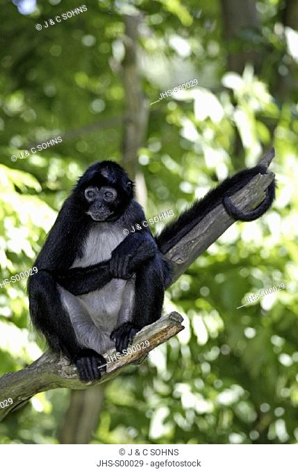 Spider Monkey , Ateles geoffroyi , Central America , South America , America , adult sitting on a branch