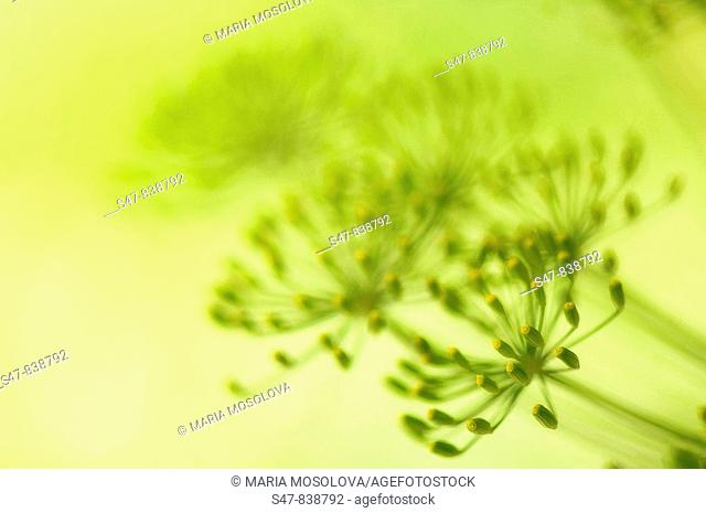 Dill Seeds Growing. Anethum graveolens