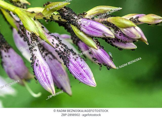 Aphids on Hosta flowers