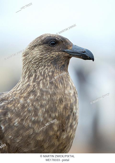 Falkland Skua or Brown Skua (Stercorarius antarcticus, exact taxonomy is under dispute). They are the great skuas of the southern polar and subpolar region