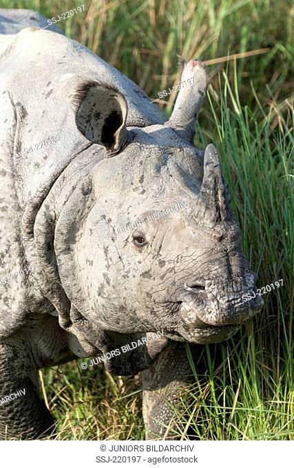Indian Rhinoceros (Rhinoceros unicornis). Portrait of adult. Kaziranga National Park, India