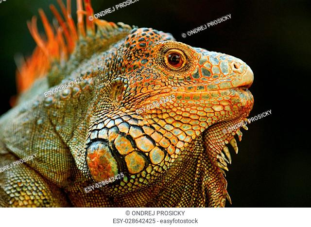 Portrait of orange iguana in the dark green forest, Costa Rica
