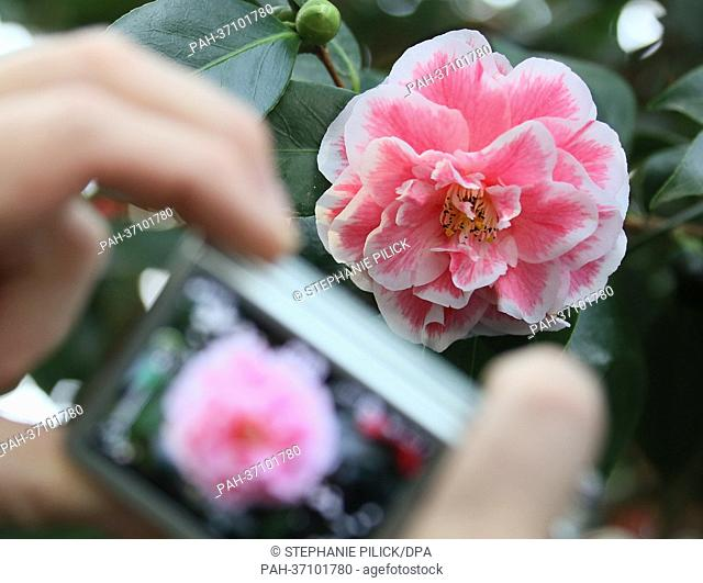 Blossoms of the camellia 'Contessa Lavinia Maggi' are pictured at the botanical gardens in Berlin, Germany, 13 February 2013