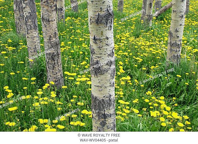 Balsam Poplar forest Populus balsamifera and dandelion Flowers in the Porcupine Hills near Maycroft, Alberta, Canada