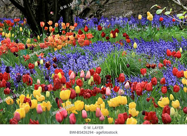 common garden tulip (Tulipa gesneriana), flower bed with lots of blooming tulips and hyacinthes, Germany