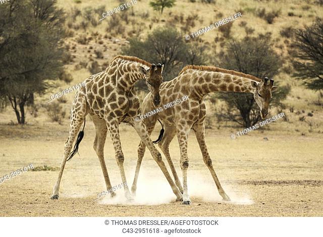 Southern Giraffe (Giraffa giraffa). Fighting males in the dry Auob riverbed. Kalahari Desert, Kgalagadi Transfrontier Park, South Africa