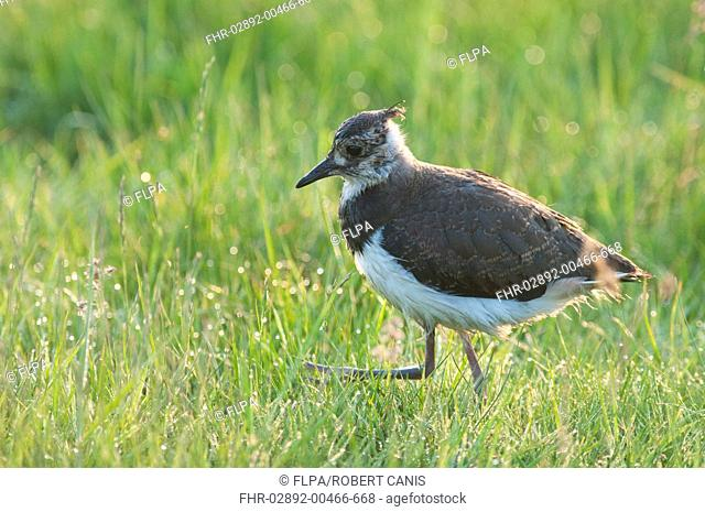 Northern Lapwing Vanellus vanellus chick, walking in dew covered grass, Elmley Marshes N N R , Isle of Sheppey, Kent, England, april