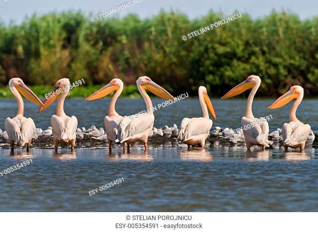white pelicans pelecanus onocrotalus