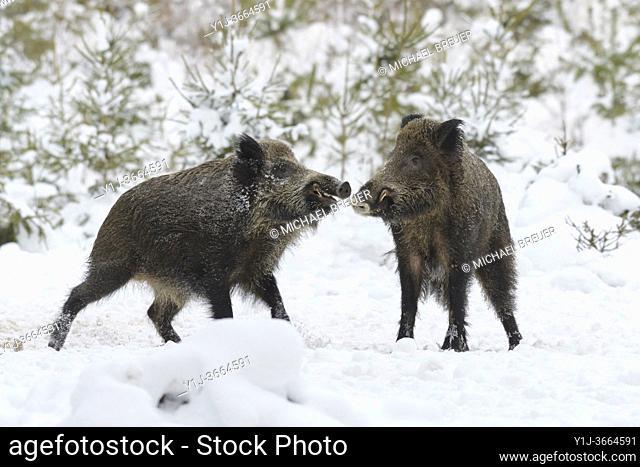 Wild boars (Sus scrofa) in wintertime, Tusker, Germany, Europe
