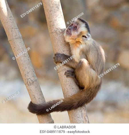 Capuchin monkey sitting on the tree