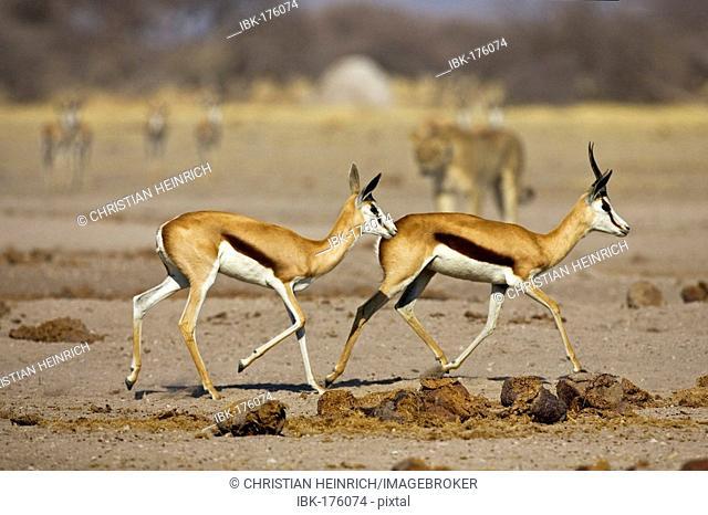 Lion, Lioness (Panthera leo), springbok, (Antidorcas marsupialis), Nxai Pan, Makgadikgadi Pan National Park, Botswana, Africa