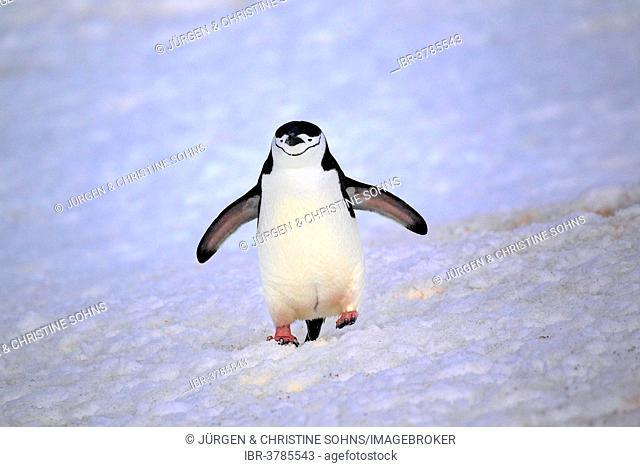 Chinstrap Penguin (Pygoscelis antarctica), adult, spread wings, Brown Bluff, Antarctica