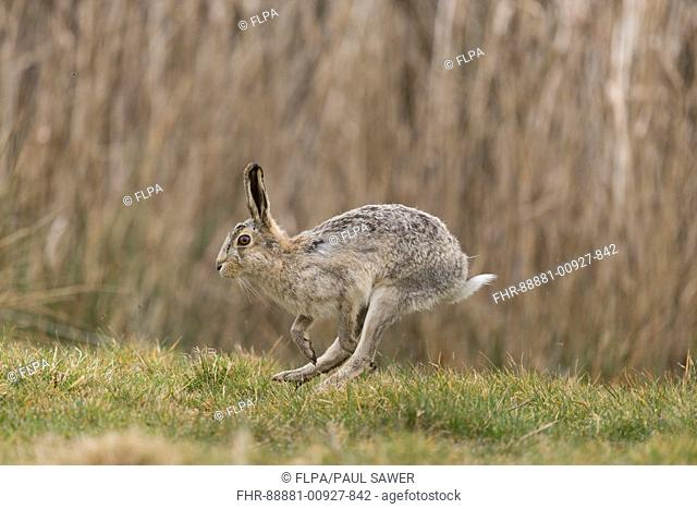 European Hare (Lepus europeaus) adult male, leucistic form, running in grass field, Suffolk, England, March