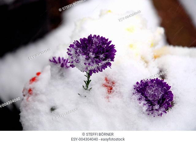 Strohblumen im Schnee