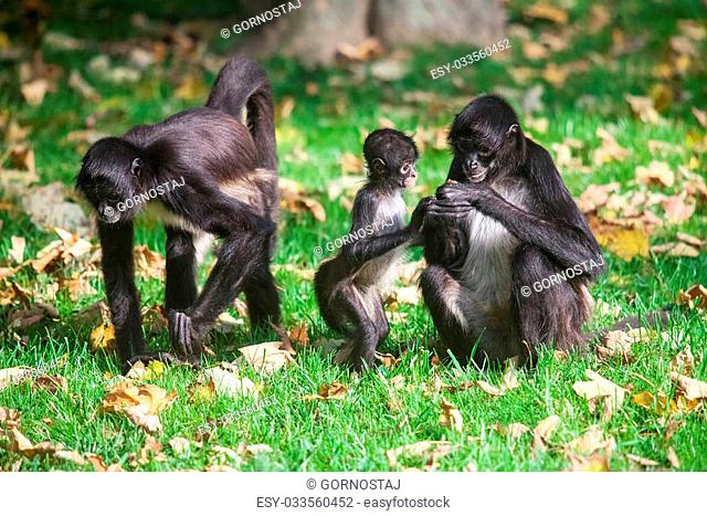 Family of Ateles geoffroyi vellerosus spider monkey. Central America