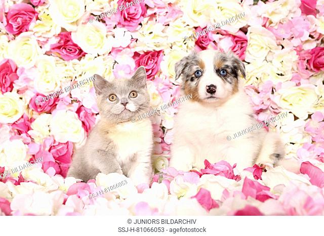 Australian Shepherd and British Shorthair Cat. Puppy (6 weeks old) and kitten among rose flowers. Studio picture. Germany
