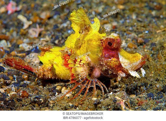 popeyed scorpionfish (Rhinopias frondosa), juvenile, Lembeh Strait, Sulawesi, Indonesia