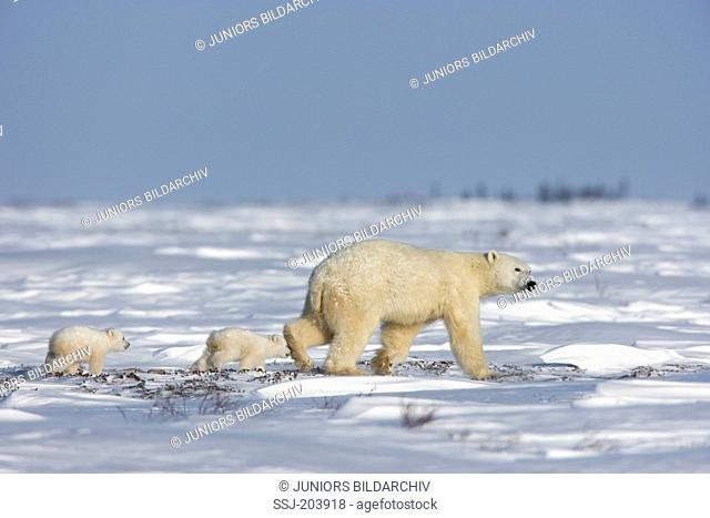 Polar Bear (Ursus maritimus, Thalarctos maritimus). Mother with twin cubs walking in tundra. Wapusk National Park, Canada