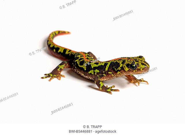 marbled newt (Triturus marmoratus), lateral view, cutout, Spain
