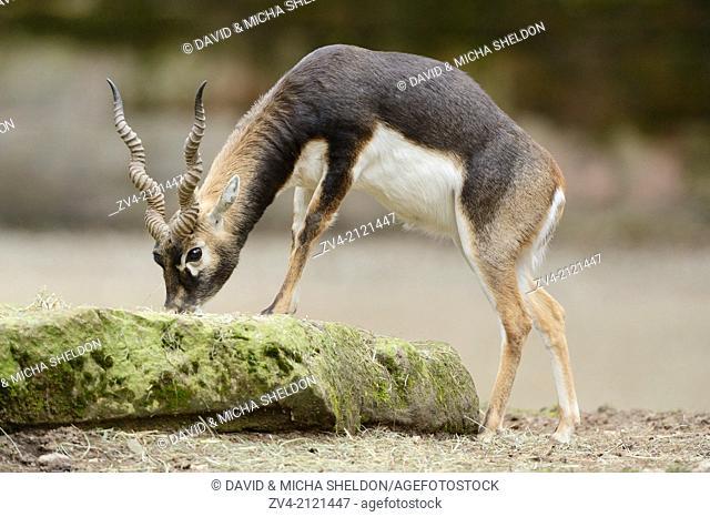 Close-up of a blackbuck (Antilope cervicapra) male