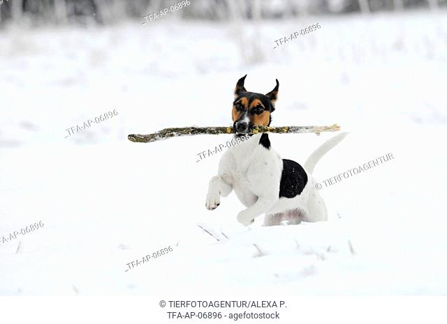 playing Jack Russell Terrier