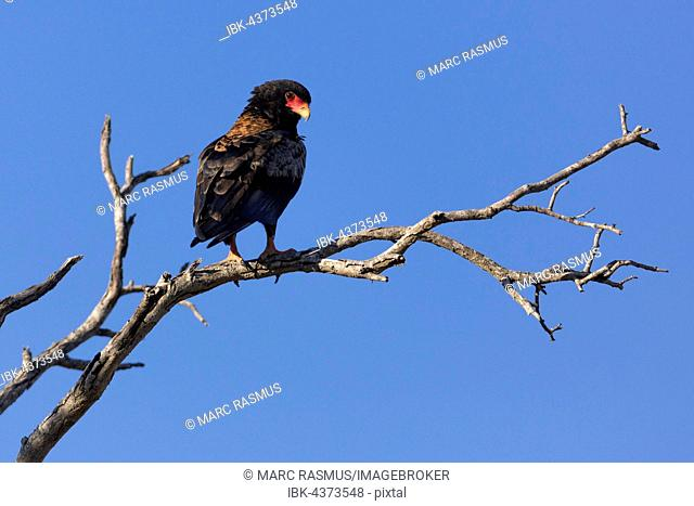 Perched Bateleur (Terathopius ecaudatus), Timbavati Game Reserve, South Africa