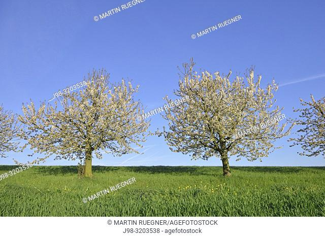 Cherry trees in blossom, springtime. Canton Basel-Landschaft, Switzerland, Europe
