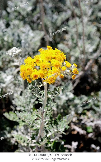 Silver ragwort (Jacobaea maritima or Senecio cineraria) is a perennial herb native to Mediterranean region but widely cultivated as an ornamental plant