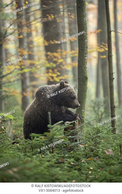 European Brown Bear ( Ursus arctos ), young cub, standing upright in the undergrowth of autumnal coloured woods, Europe.