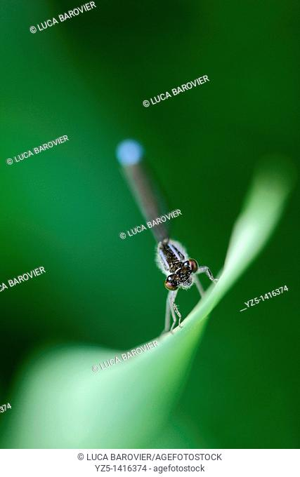 Ischnura elegans - Blue tailed damselfly - Surfing