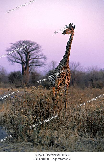 Giraffe, Ruaha National Park, SW Tanzania