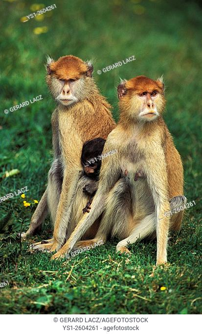 Patas Monkey, erythrocebus patas, Mother and Young, Africa