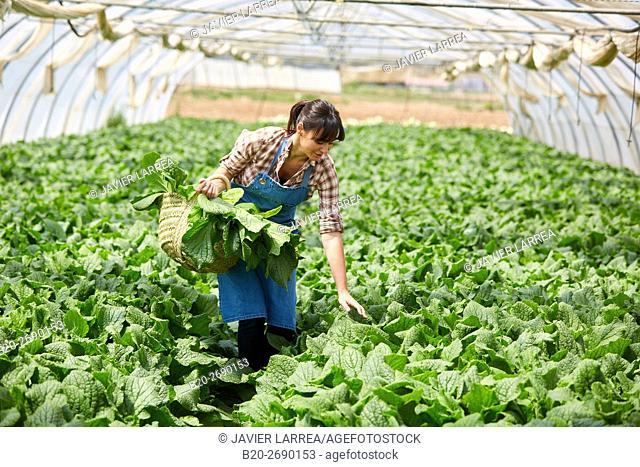 Farmer, borage collection, Borago officinalis, Greenhouse, Agricultural field, Villafranca, Navarre, Spain