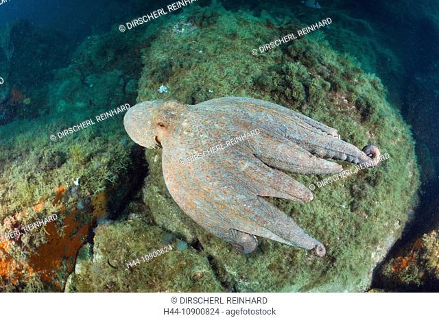 Mollusc, Mollusca, Octopoda, Cephalopods, Cephalopoda, tentacles, elastic, sucker, suckers, ink, Marine Invertebrate, Reefs, coral reef, Spain, Cap de Creus