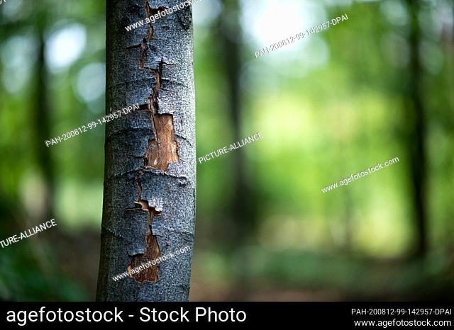 12 August 2020, North Rhine-Westphalia, Hagen: The bark of a beech tree has burst open due to the persistent heat in the city forest