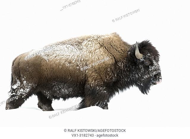 American bison ( Bison bison ) in winter, mature bull, walking through deep snow, licking its nose, Yellowstone National Park, Wyoming, USA.