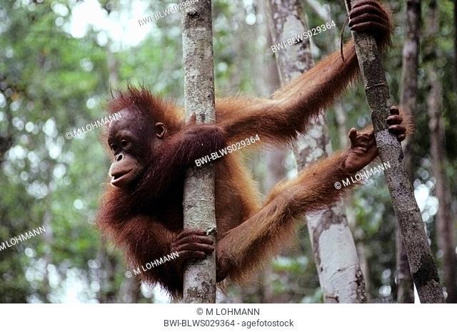 Bornean orangutan Pongo pygmaeus pygmaeus, juvenile, clamping at a tree, Malaysia, Sarawak, Semanggok Wildlife Rehabilitation Center