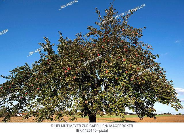Apple tree (Malus domestica), Winterrambur variety, blue sky, Middle Franconia, Bavaria, Germany