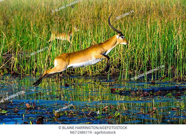 Red lechwe jumping over a stream, near Kwara Camp, Okavango Delta, Botswana