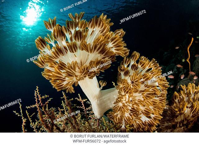 Flower Soft Coral, Xenia sp., Pantar, Alor Archipelago, Lesser Sunda Islands, Indonesia