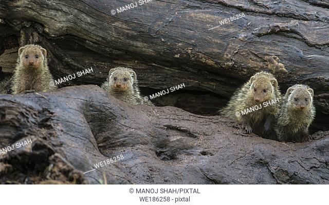 Banded Mongooses in a fallen tree trunk