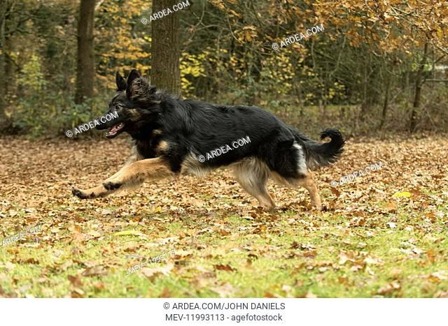 DOG. German Shepherd, running in autumn leaves