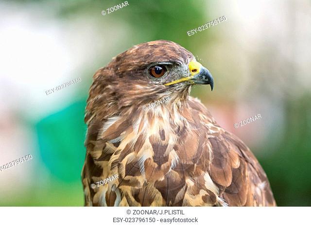Portrait buzzard