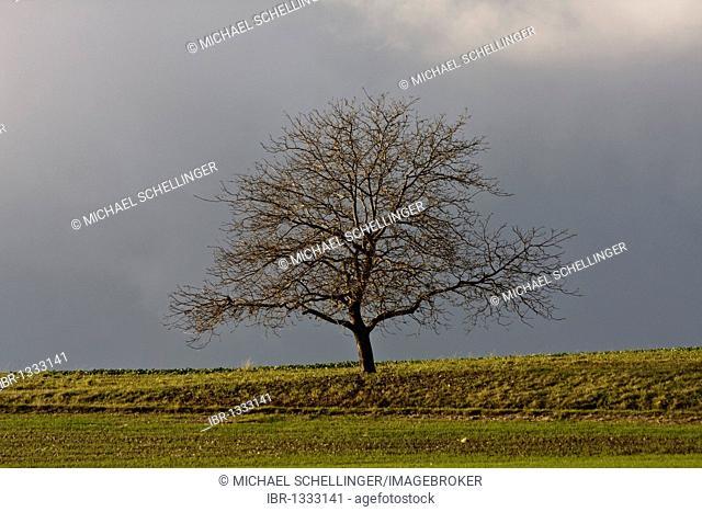 Single tree on the Schaffhauser Randen plateau, Canton of Schaffhausen, Switzerland, Europe