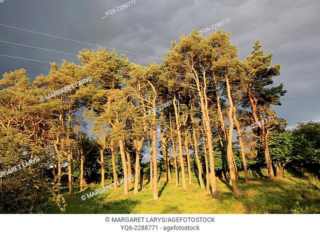 Pine Tree Forrest in golden sunlight